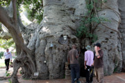 Get a Buzz Inside One of the World's Largest Trees