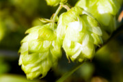 Craft Beer Baltimore | European Town Known for Producing Hops Will Soon Have Its Own Public Beer Fountain | Drink Baltimore