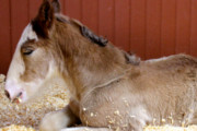 Cuteness Alert: Meet Budweiser's Newest Clydesdale